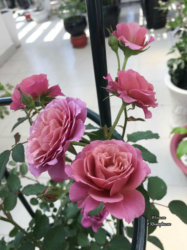Hoa hồng Aoi.