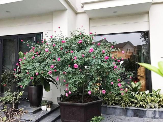 Phía sân trước được chị Nga trồng hồng cổ.