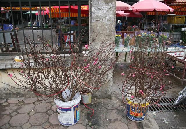 Đào nở sớm năm nay kém sắc nhưng do khan hiếm nên giá cao hơn năm ngoái từ 50.000-100.000 đồng/cành.
