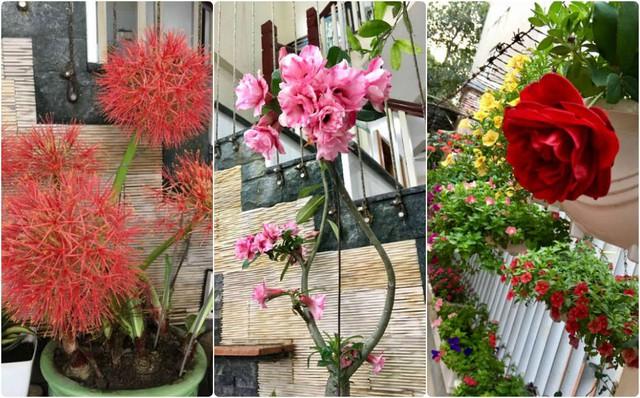 Đi từ phía ngoài cổng vào đến từng ngóc ngách của căn nhà sẽ không thấy nơi nào thiếu vắng các chậu hoa, chậu kiểng đủ màu sắc.