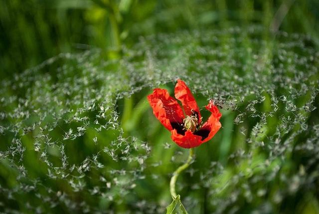 Chiếc bẫy của những con nhện vô tình tạo nên một giàn muỗi phủ trên bông hoa đỏ chót.