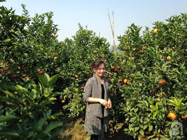 Vườn cam canh đang mùa thu hoạch.
