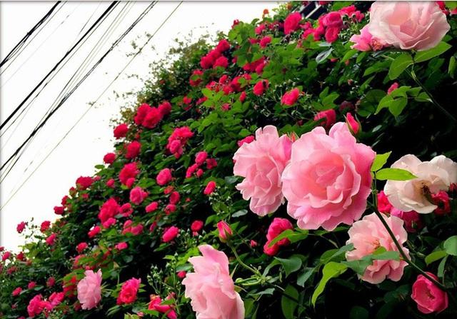 Giàn hồng leo đã đẹp như mơ sau một thời gian.