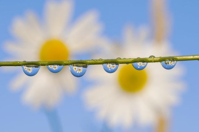 Hình ảnh 2 bông hoa cúc được phản chiếu sống động trên những giọt sương.