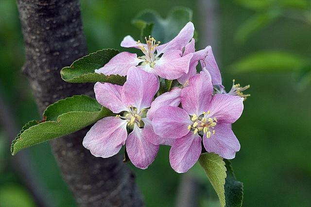 Hoa của loại táo kỳ lạ này cũng rất đẹp.
