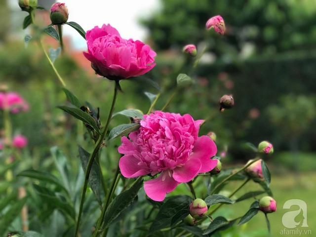 Nếu cây đang có nụ nhỏ mà nhiệt độ xuống thấp quá, dưới – độ thì nụ sẽ bị đóng đá teo hết. Chị lại tìm cách phủ cho cây qua đêm giá. Chị đặc biệt chú ý việc chăm sóc khi các mầm mới nhú giúp cho gốc khỏe ra nhiều mầm sẽ đồng nghĩa với hoa nở bông đẹp và nhiều hơn.