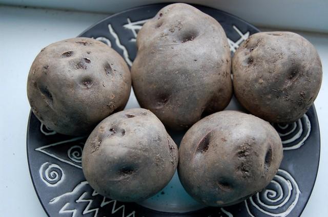 Khoai tây đen là một loại không bình thường. Họ có hình bầu dục điển hình của khoai tây truyền thống, nhưng tính năng thú vị nhất của nó là màu sắc