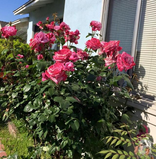 Bụi hồng rực rỡ bên cửa sổ.