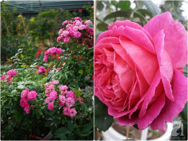 Những khóm hồng sai hoa.