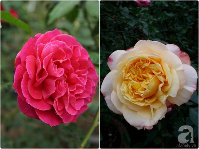 Chi phí đầu tư cho vườn hồng của chị hiện nay lên đến 6 tỷ đồng.