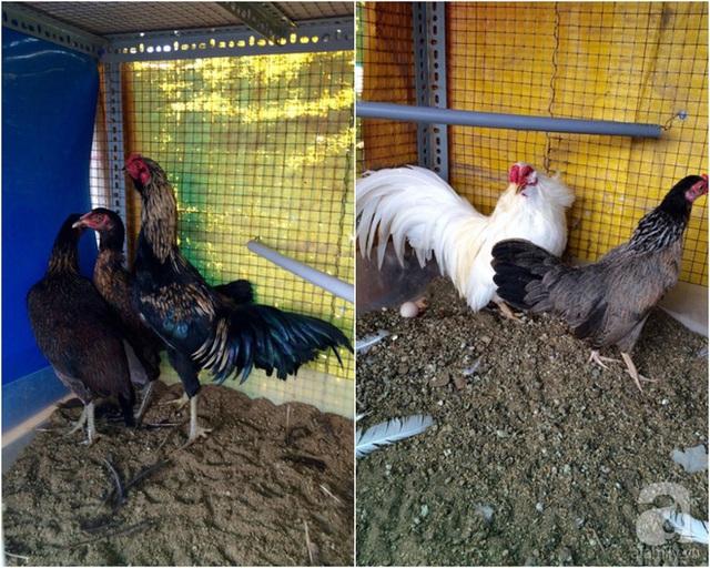 Chuồng gà được xử lý vệ sinh và dọn dẹp thường xuyên.