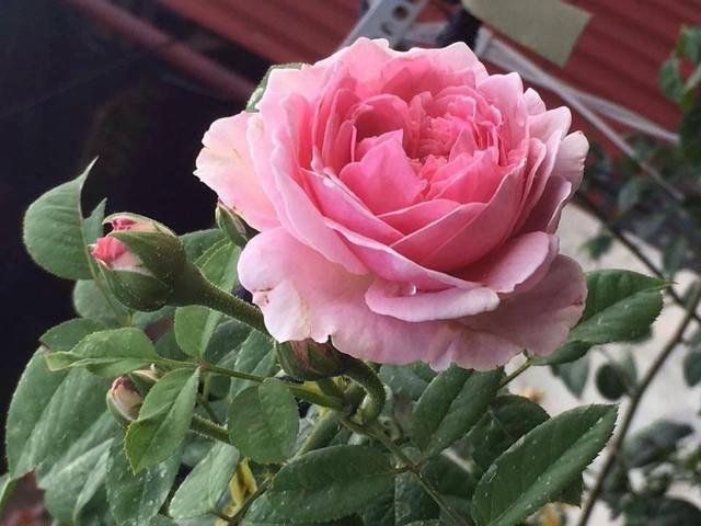 Loại hoa được trồng nhiều nhất chính là hoa hồng, với đủ các màu đỏ, cam, vàng, trắng, hồng,... của hồng leo, hồng bụi