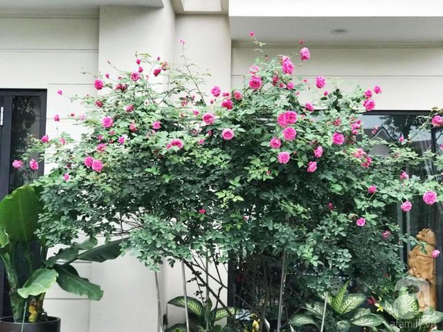 Cây hồng hàng chục năm tuổi.