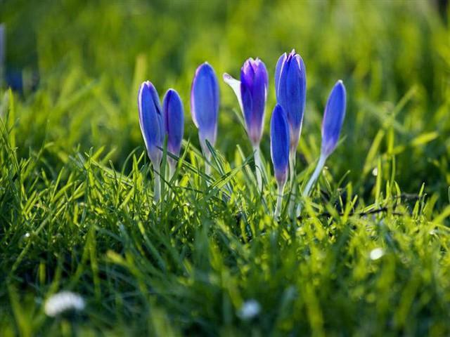 Hoa nghệ tây nở sau mùa lạnh, từ mặt đất nhô lên khi trời bắt đầu ấm, đội cả tuyết vừa mới bắt đầu tan. Một số nhà nghiên cứu cho rằng loài hoa bé nhỏ duyên dáng này báo hiệu xuân về.