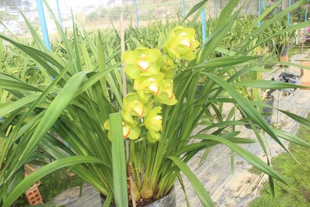 Hiện trong vườn của ông Hùng có 5 loại lan đang trổ nụ để chuẩn bị phục vụ thị trường Tết