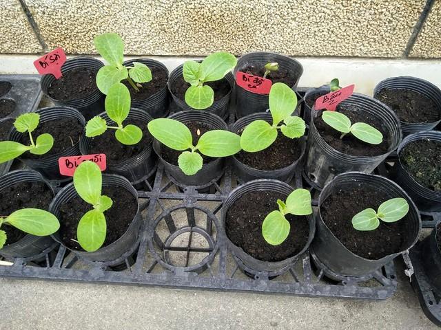 Các loại cây giống được trồng để gối vụ luân phiên, đảm bảo cho khu vườn lúc nào cũng la liệt các loại rau ăn