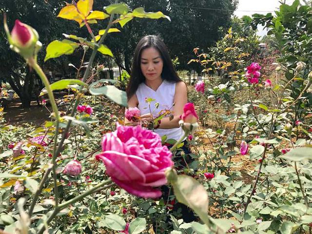 Tuy nhiên, để có vườn hồng 2 vạn gốc, chị Hằng phải bỏ rất nhiều công sức để trồng và chăm sóc