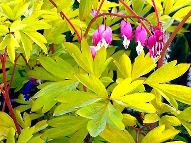 Còn có cả hoa huyết tâm hồng nhưng lá màu vàng.
