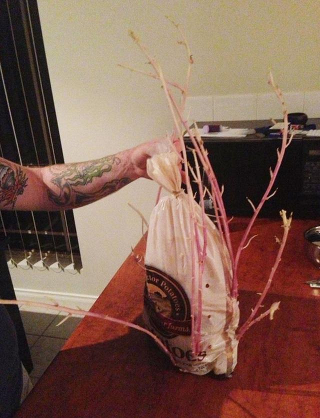Anh bạn tôi dọn dẹp nhà bếp và phát hiện túi khoai tây để lâu không ăn. Sức sống thật là phi thường.
