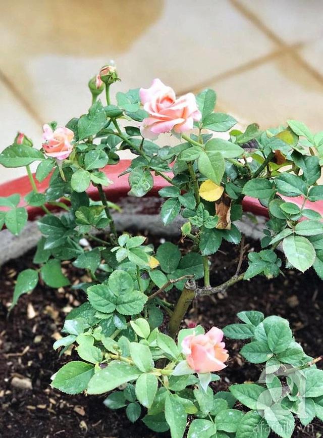 Cành non lộc biếc được phát triển tươi tốt từ cây rễ trần.