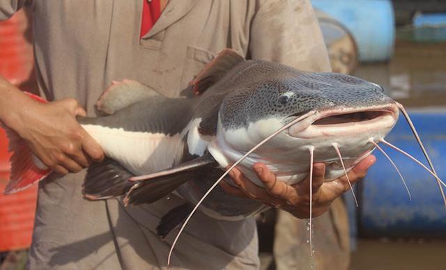 """Loại cá này có râu dài, màu trắng. Mỗi khi cho ăn, râu chúng lại hiện trên mặt nước, còn miệng cá thì nằm sâu phía dưới"""", ông Bon nói."""
