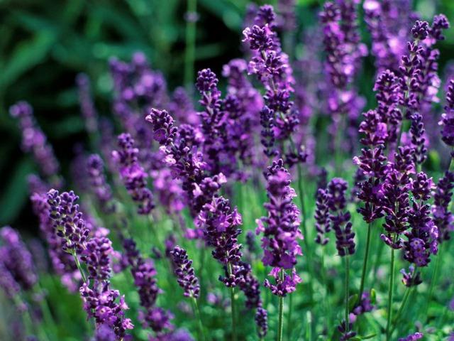 Giống hoa English Lavender