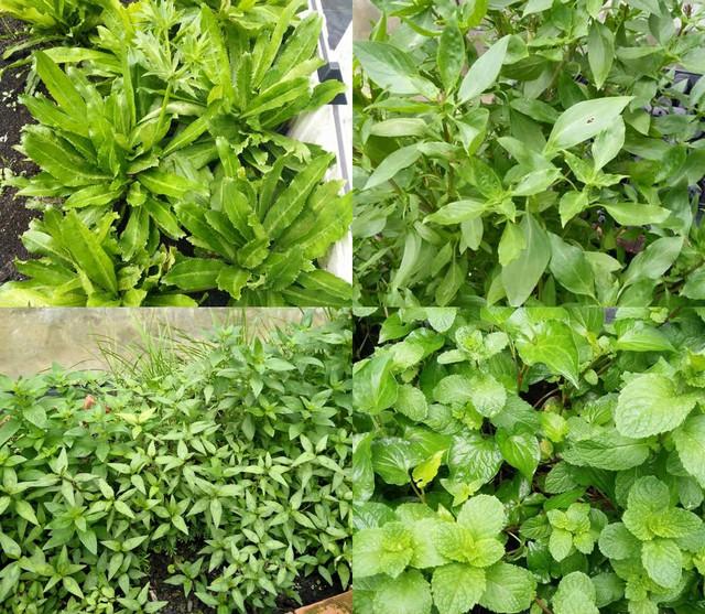 Tất tần tật những loại rau gia vị của Việt Nam dường như đều có mặt trong khu vườn của mẹ Việt xứ Đài này