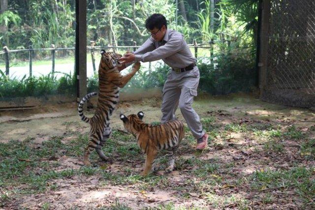 """Hai trong bốn chú hổ con Bengal """"thế hệ F1"""" đang chơi đùa cùng chuyên viên chăm sóc"""