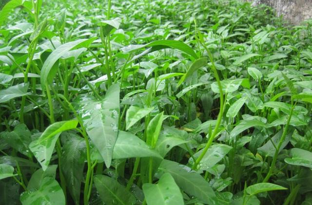 Rau muống luôn xanh tốt nhờ tưới nước tiểu và nước vo gạo.
