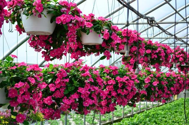 Dừa cạn rất dễ trồng, có thể ra hoa quanh năm. Chúng là loại hoa thích hợp để trồng thành thảm hoặc bạn có thể trồng trong chậu hay giỏ treo lên ở ban công cũng rất đẹp. Dừa cạn có nhiều màu như trắng, tím, hồng, đỏ.