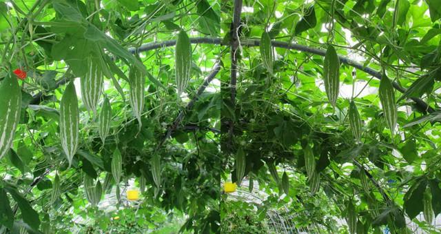 Một góc trồng lặc lè của khu vườn la liệt rau quả Việt