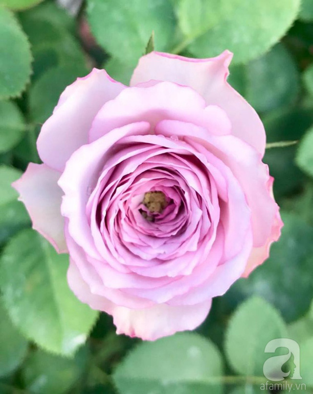Hoa hồng được trồng thành công từ rễ trần.