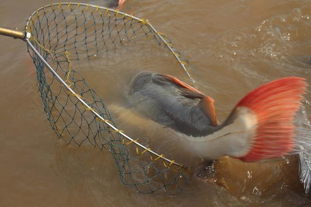 Ông Bon cho biết thêm, loại cá này có đầu to, xương xẩu, lớp da dày, dưới bụng màu trắng, trên lưng màu đen, vây đuôi có màu đỏ, cá có râu rất dài, màu trắng.