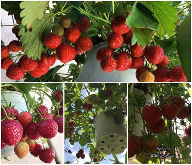 Chị trồng dâu tây treo trên góc ban công cho sai trĩu quả.