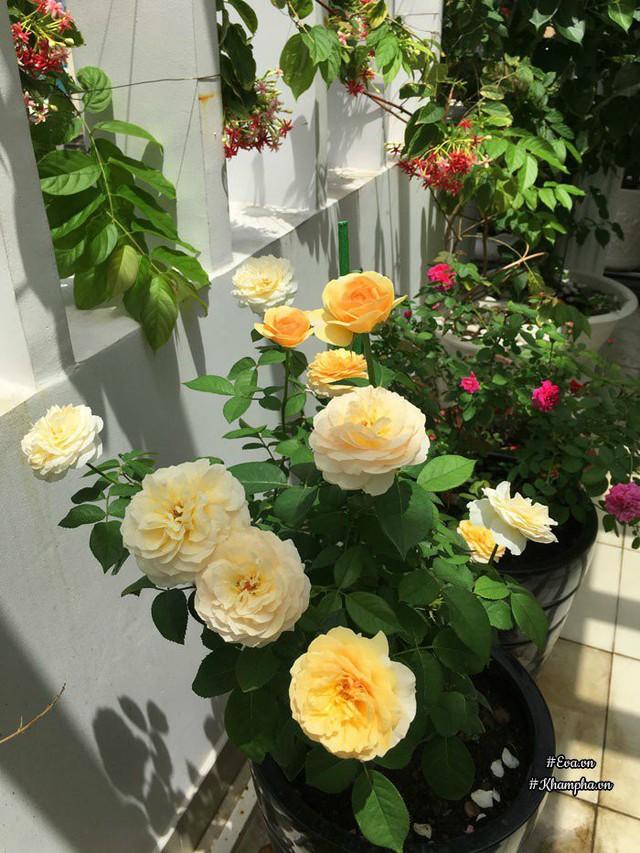 Hoa hồng Juliet.