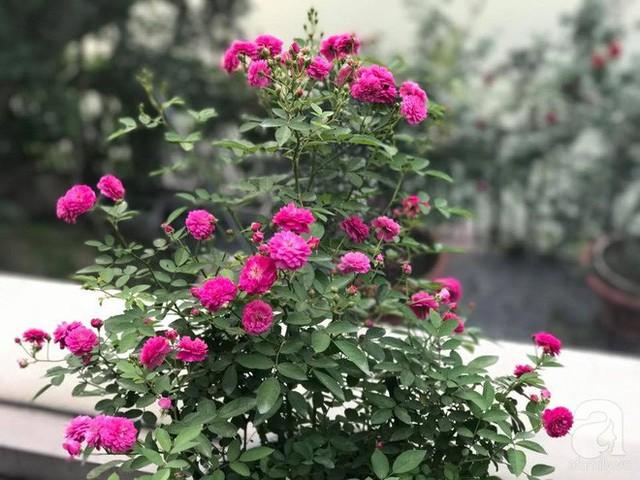 Những cành hồng chi chít hoa và nụ.