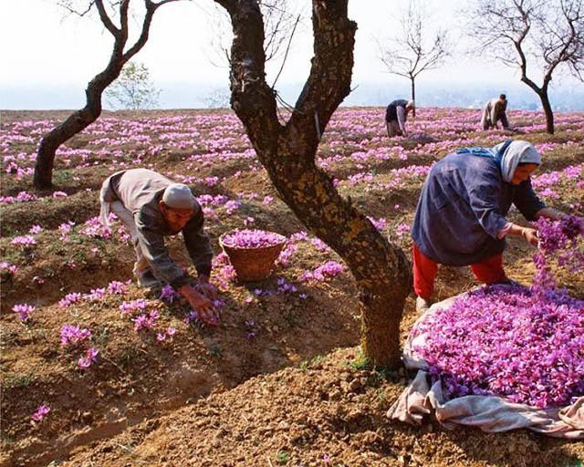 Thu hoạch nghệ tây ở Iran.