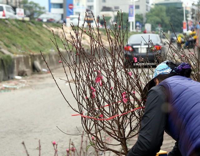 Những cành đào bích chính hiệu Nhật Tân được các tiểu thương săn của chủ vườn mang ra phục vụ khách hàng.