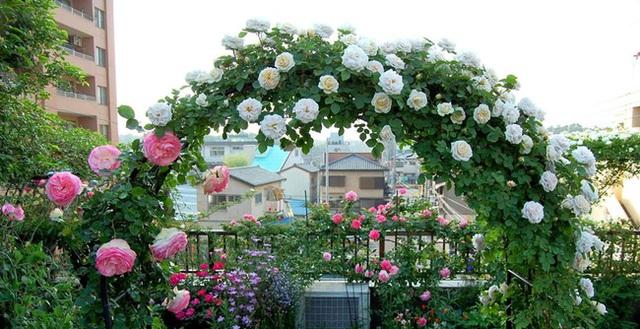 Lưu tạo mái vòm để trồng hồng leo.