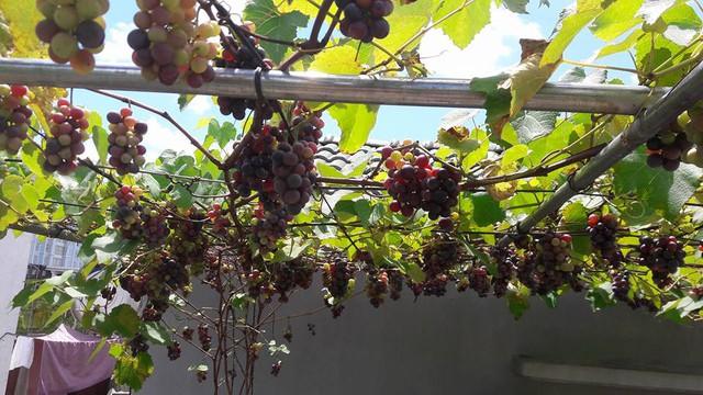 Đây là giống nho Pháp, khi chín quả sẽ chuyển sang màu tím