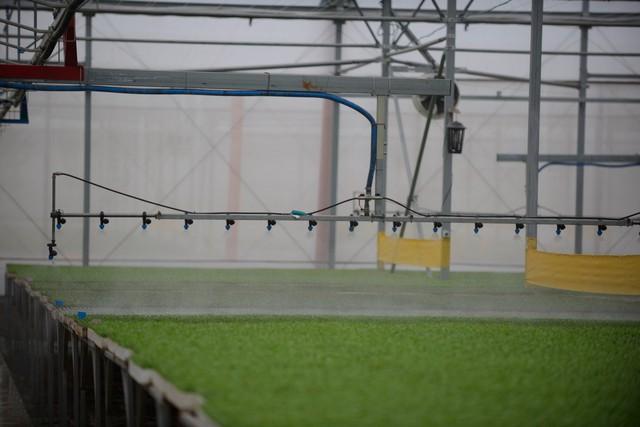 """Sau thời gian nảy mầm khoảng 1-2 ngày, các cây rau mầm được chuyển tới nhà kính và """"tắm"""" đủ nước cho quá trình sinh trưởng tốt nhất bằng hệ thống tưới phun sương."""