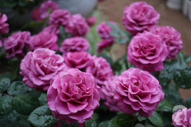 Những gốc hồng rực rỡ.