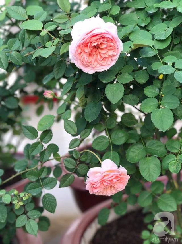Theo anh, cần phải có những bí quyết nhất định, cây rễ trần sẽ giúp bạn có vườn hồng như ý.