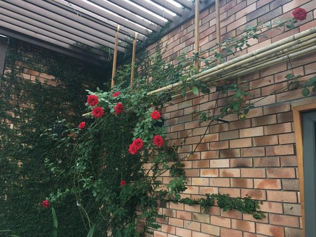 Một bước quan trọng khác trong quá trình trồng hoa hồng là tưới dung dịch kích thích rễ cho cây. Chị Lan sử dụng loại dung dịch bán phổ biến tại các chợ cây cảnh. Khi tưới, pha theo tỷ lệ hướng dẫn, tưới đều tay vào gốc. Trong hai ngày sau đó, để cây nghỉ ngơi. Tới ngày thứ ba mới tiếp tục tưới lại loại dung dịch này.