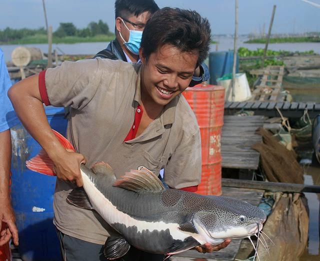 """Loại cá này được phân bố nhiều nhất ở lưu vực sông Amazon thuộc Nam Mỹ. Khi đạt trọng lượng lớn có thể trên 80kg. Đây được xem là """"thủy quái"""" vùng Amazon."""
