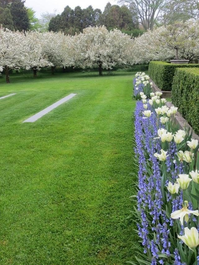 Trong vườn, 25 cây cherry đang nở hoa rực rỡ, báo hiệu một mùa bội thu quả.