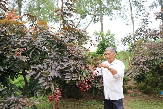 Hiện nay Viện cây ăn quả miền Nam đã mang cây nhãn tím về nghiên cứu để sớm xác định được các đặc tính, quá trình sinh trưởng của cây và đặt tên cho cây theo khoa học.