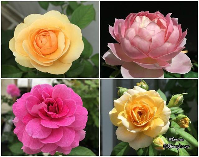 Chị Uyên thường chia ra từng giai đoạn để chăm sóc hoa hồng.