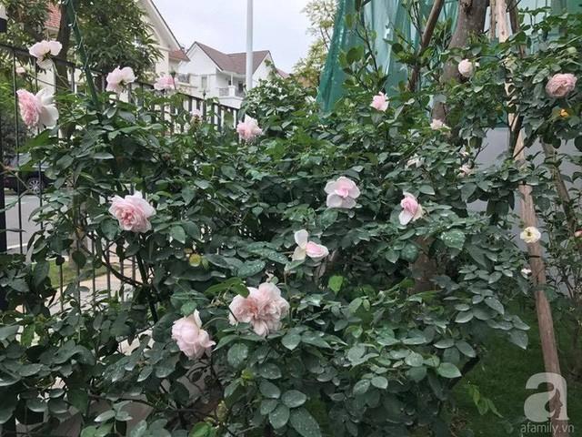 Khu vườn được chị trồng nhiều hồng cổ.