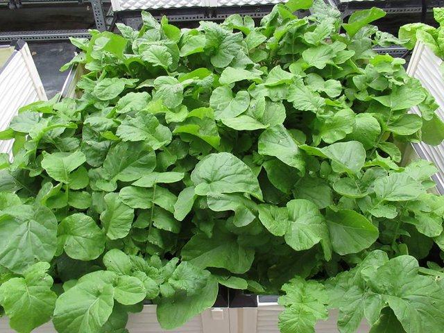 Củ cải đỏ đang trong giai đoạn phát triển